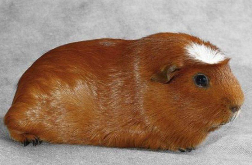 Морская свинка: стандартные и рекордные размеры