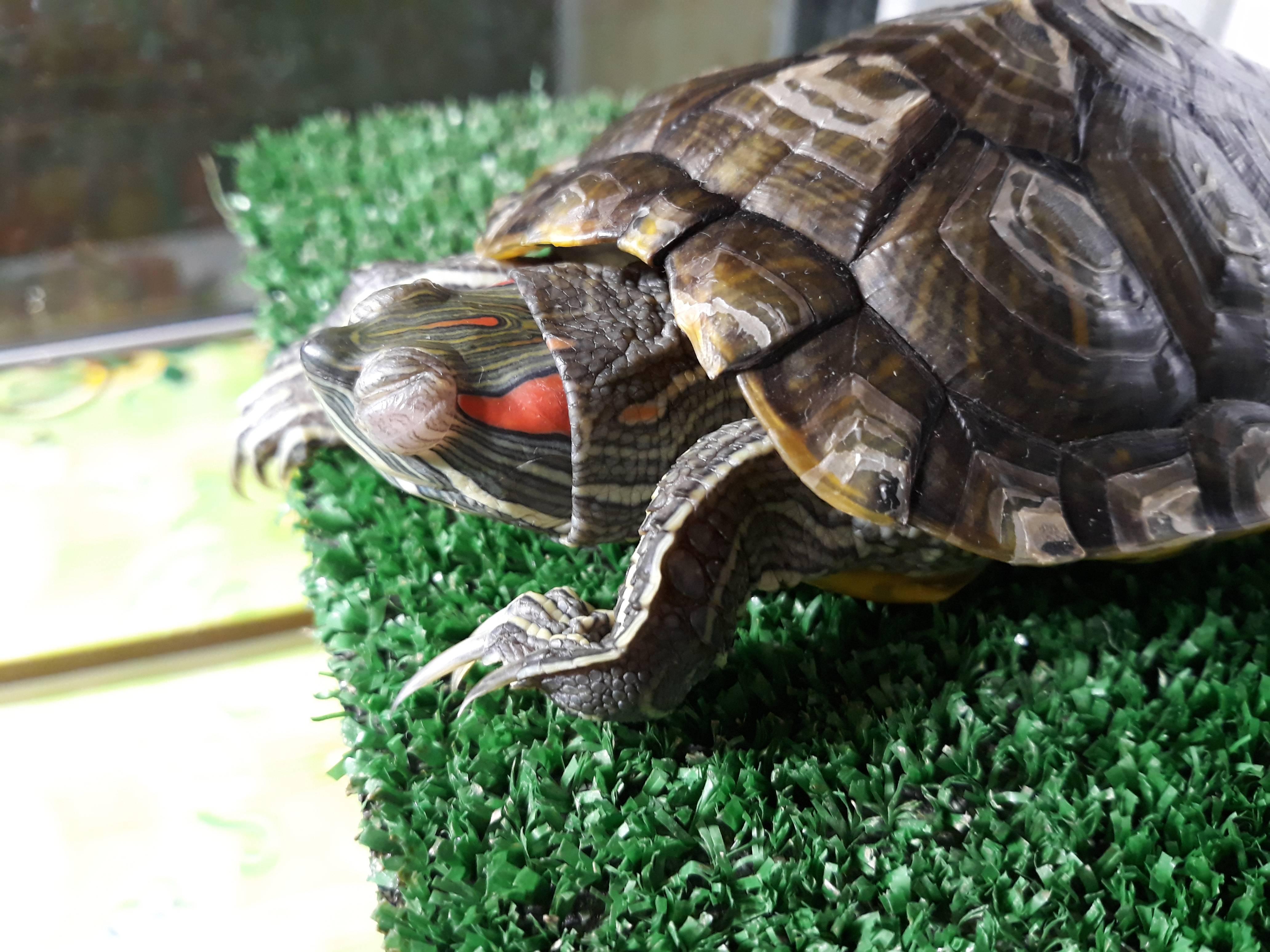 Домашние черепахи аллергия