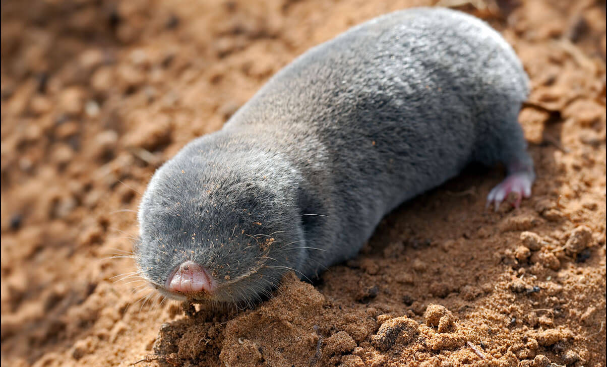Златокрот – что это за животное?