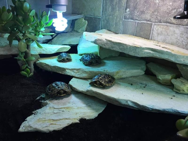 Эластичная черепаха — википедия. что такое эластичная черепаха