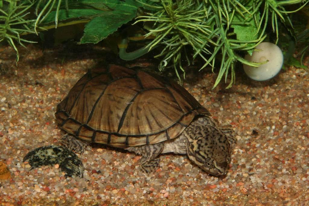 Мускусная черепаха: содержание и уход,описание,размножение,фото.