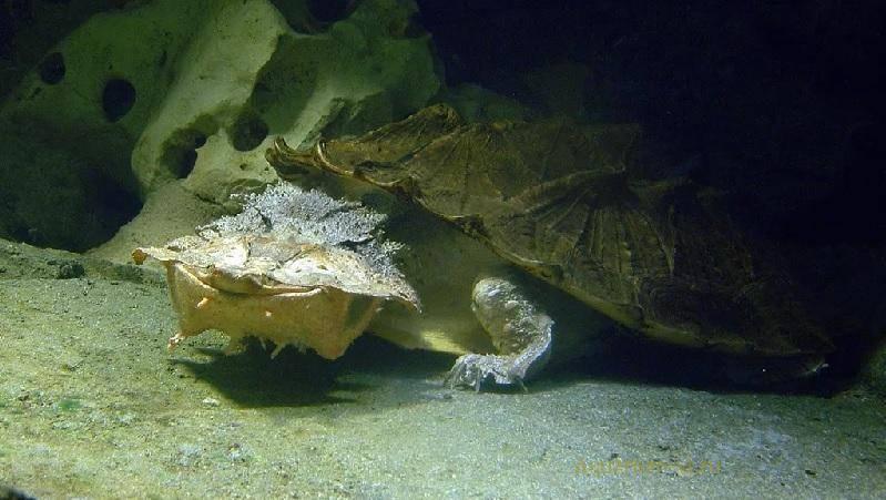 Бахромчатая черепаха — википедия