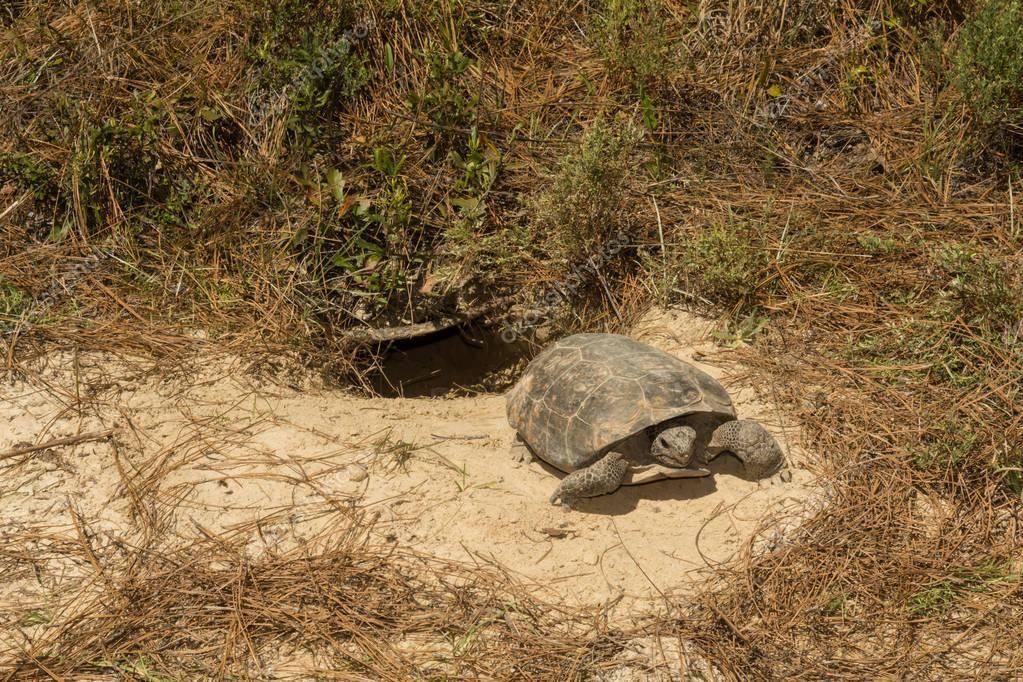 Сухопутная черепаха уходит в спячку. как черепахи зимуют в природе
