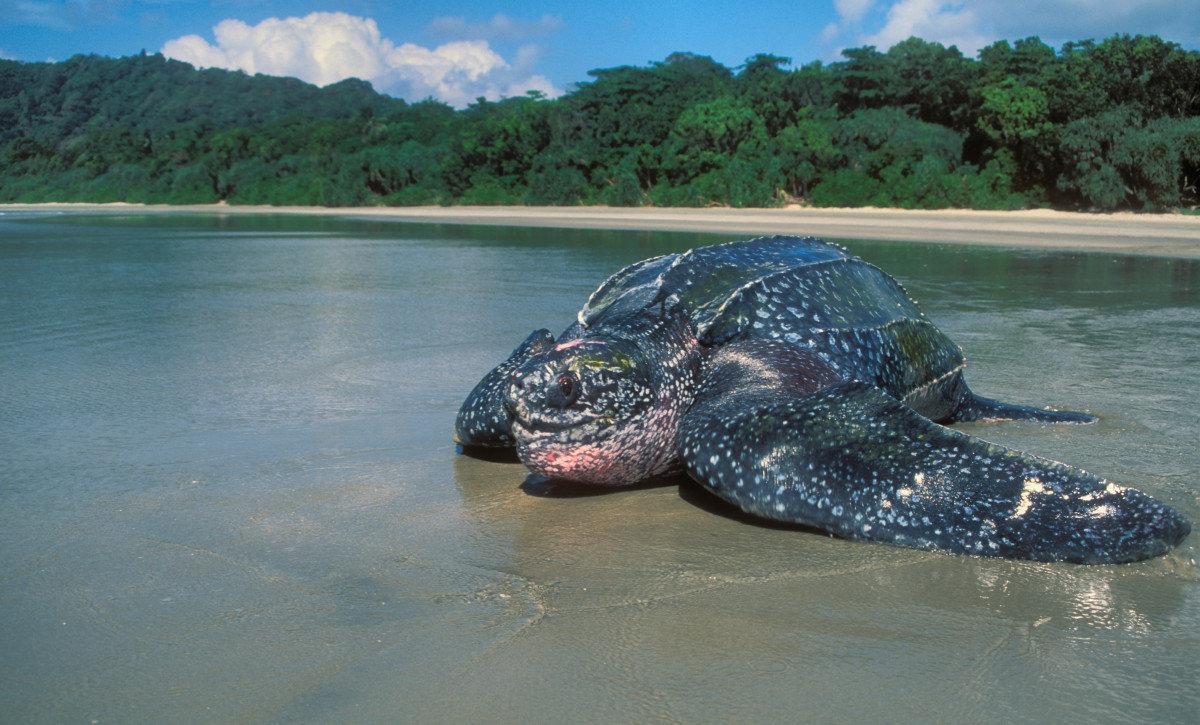Морская черепаха дома: что необходимо знать
