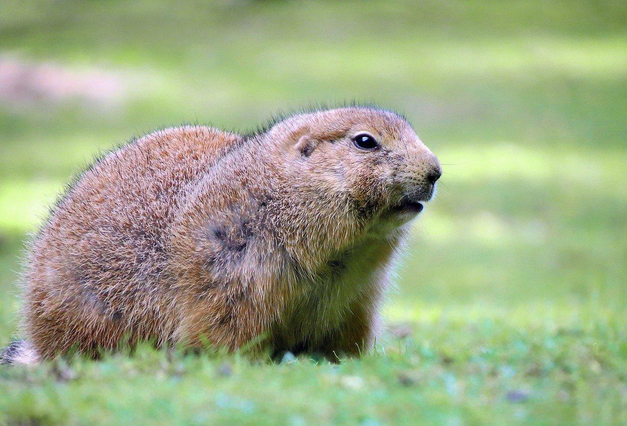 Гоферы – американские грызуны