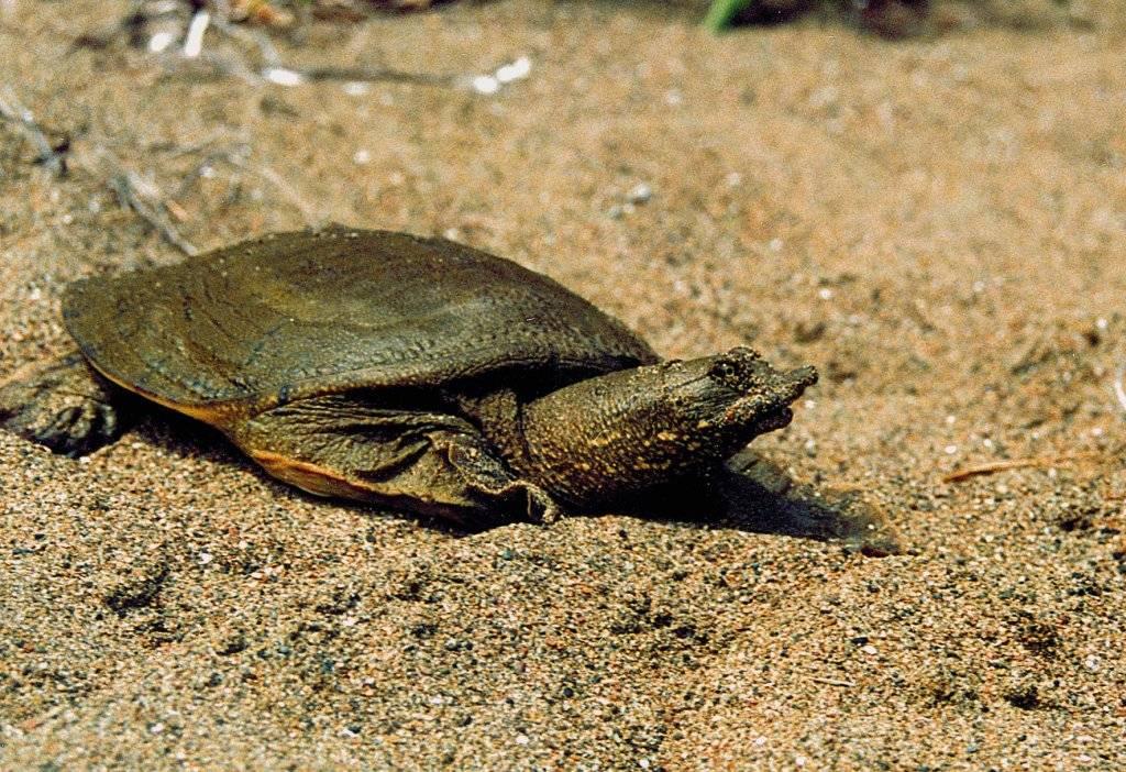 Китайский трионикс — дальневосточная черепаха