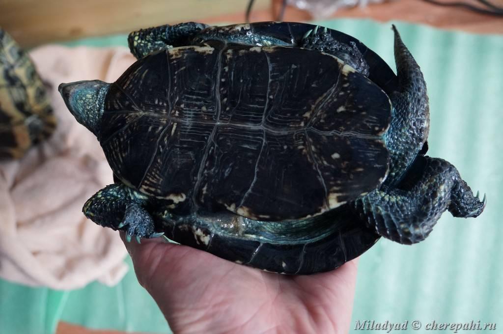 Сухопутная черепаха ничего не ест. почему черепаха не ест? как помочь черепахе, когда она не ест