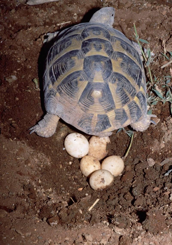 Заболевания репродуктивной системы попугаев. дистоции. нарушение яйцекладки. яйцо в брюшной полости. разведение попугаев.