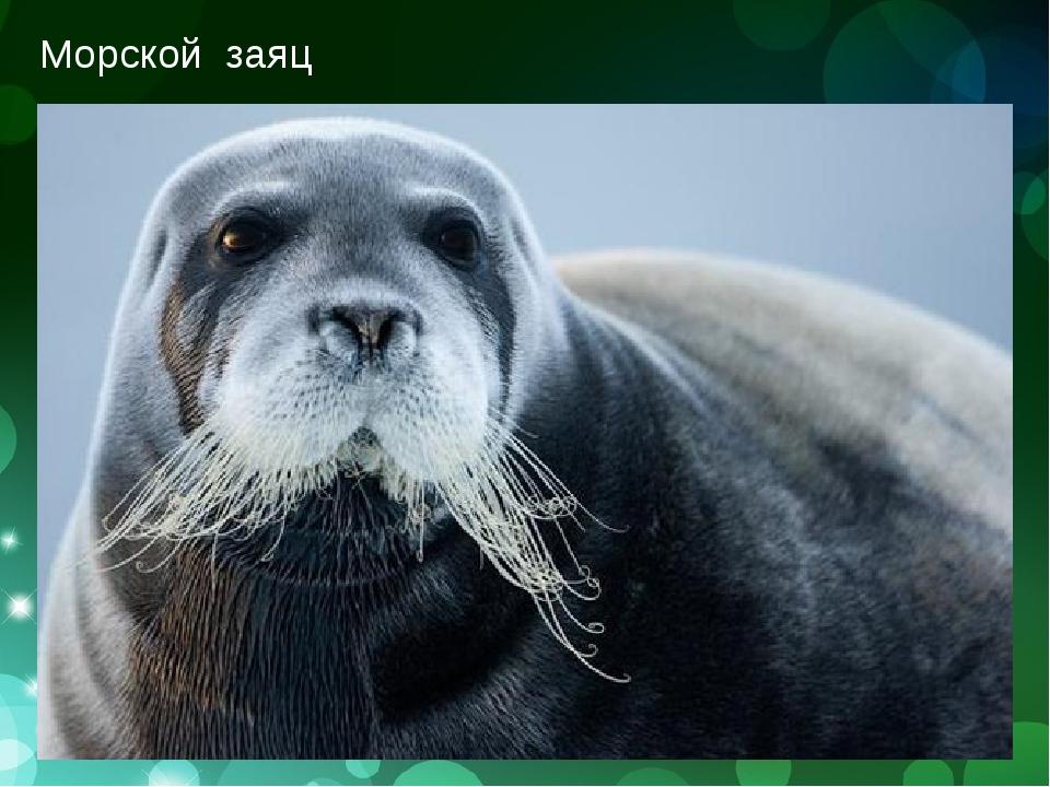 Морской заяц (лахтак)