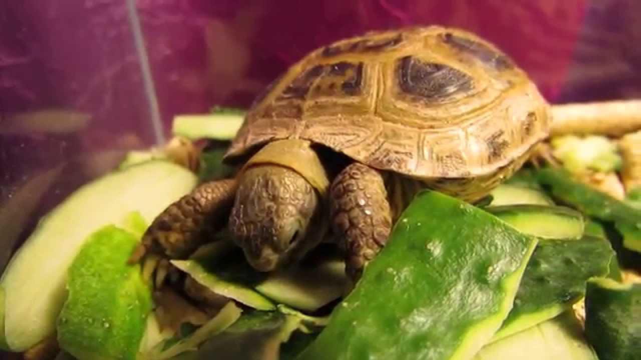 Чем питается черепаха: можно ли яйцо, огурец и другое
