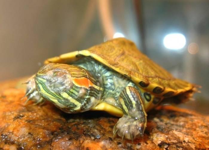 Зимняя спячка красноухих черепашек. зимняя спячка у черепах впадают ли водные черепахи в зимнюю спячку