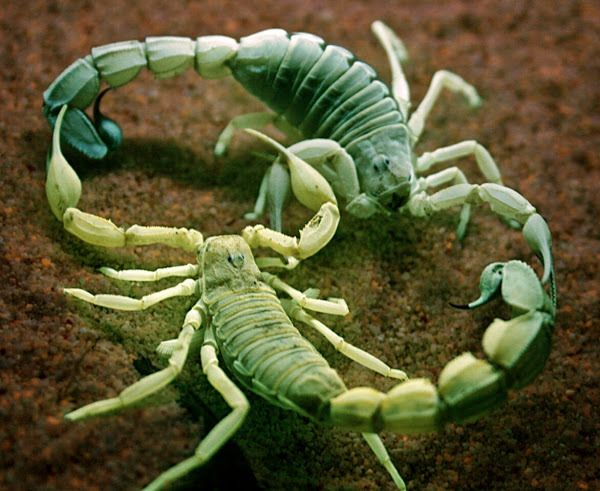 Как размножаются скорпионы