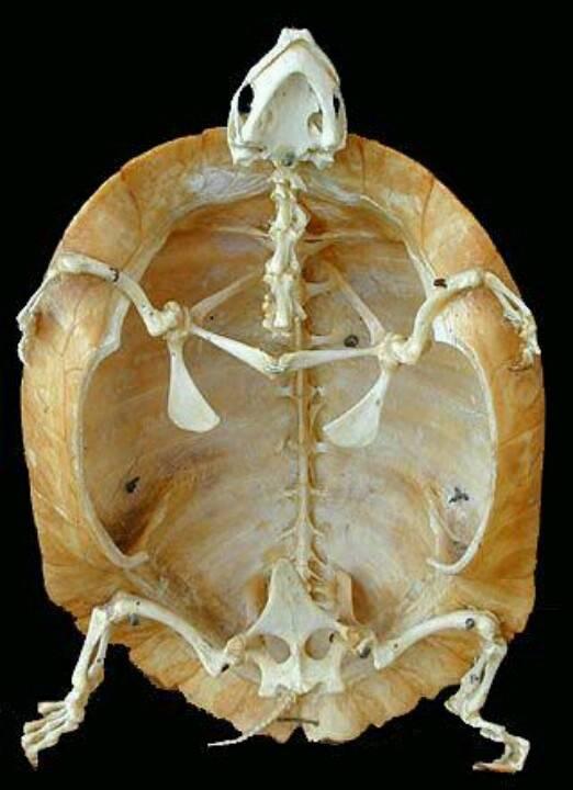 Скелет черепахи: строение. строение черепахи сухопутной, красноухой в разрезе