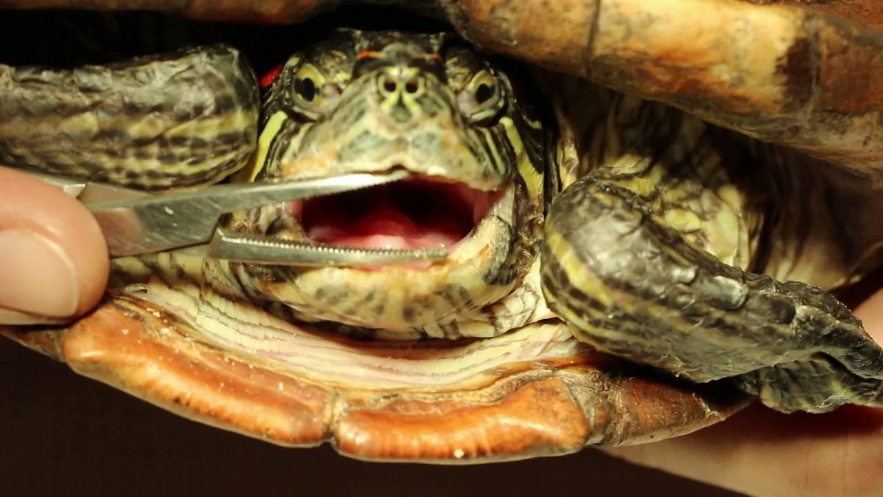Почему мягкий панцирь у красноухой черепахи?