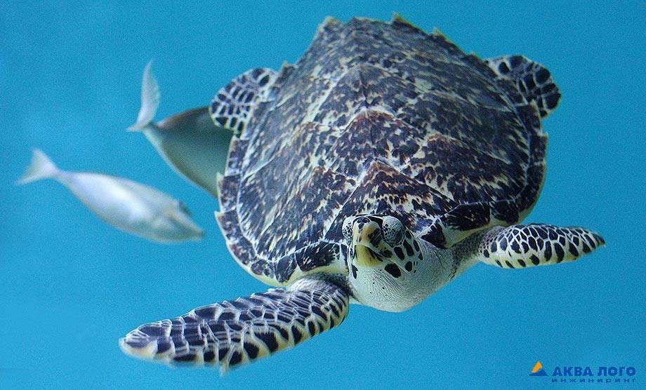 Caretta caretta (логгерхед) - черепахи.ру - все о черепахах и для черепах