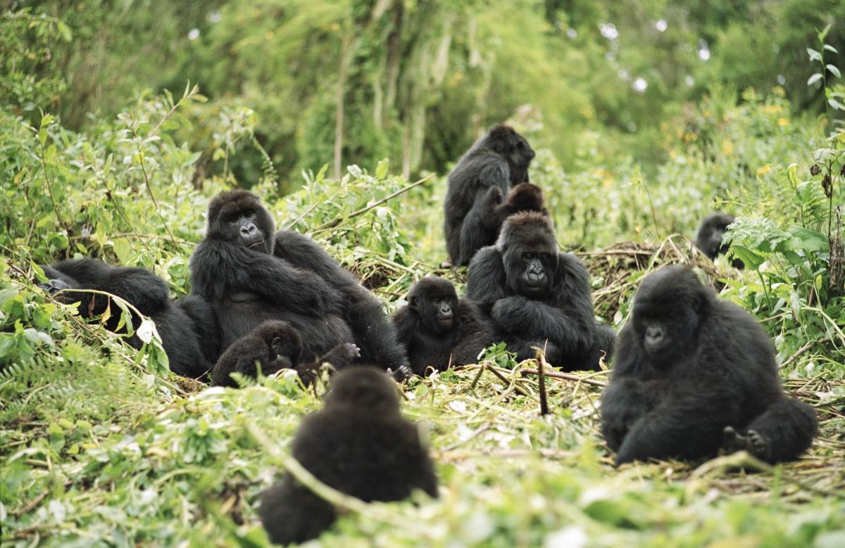 Горилла: виды, фото, описание, места обитания, жизнь в дикой природе