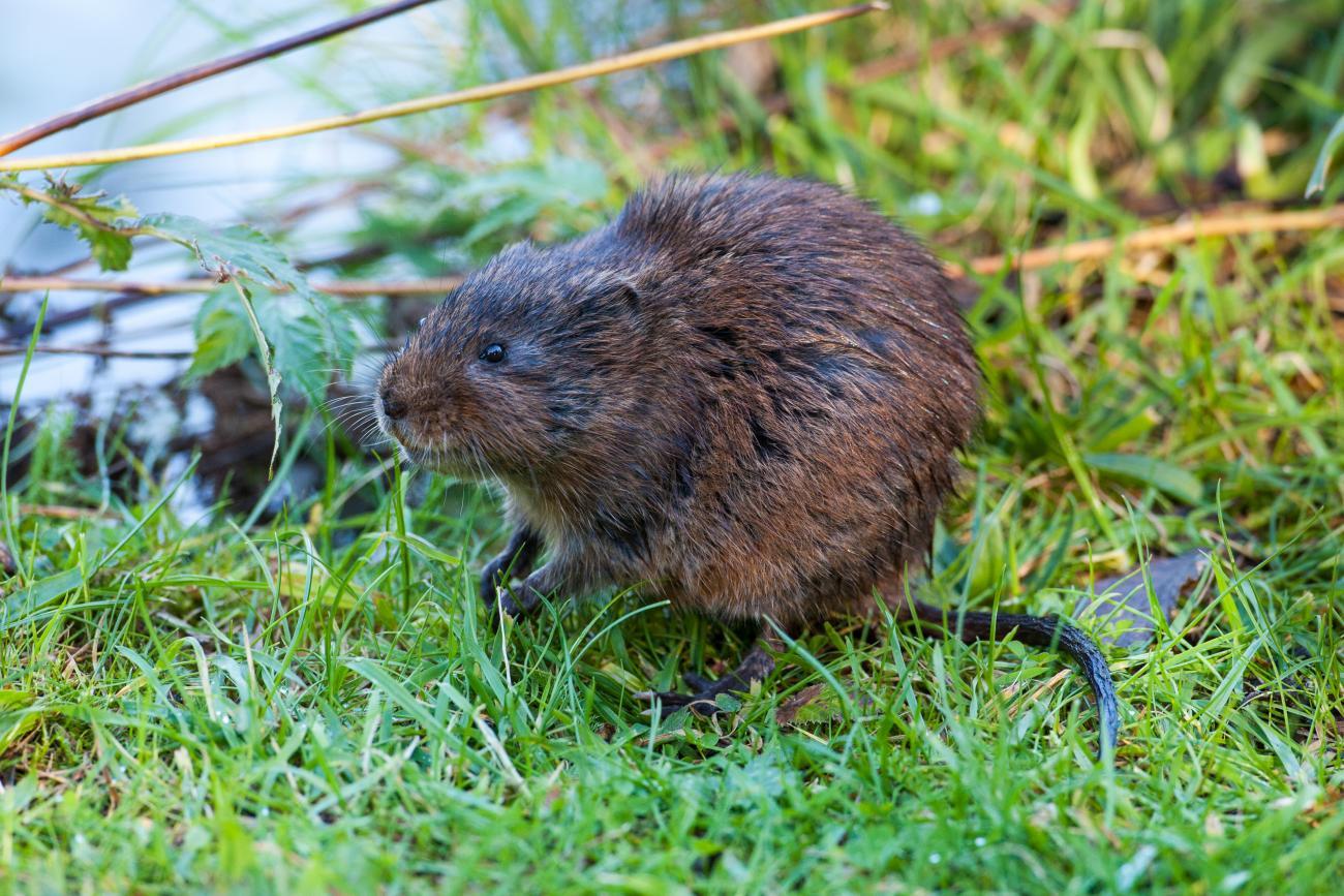 Водяная крыса: фото, описание, активность, питание