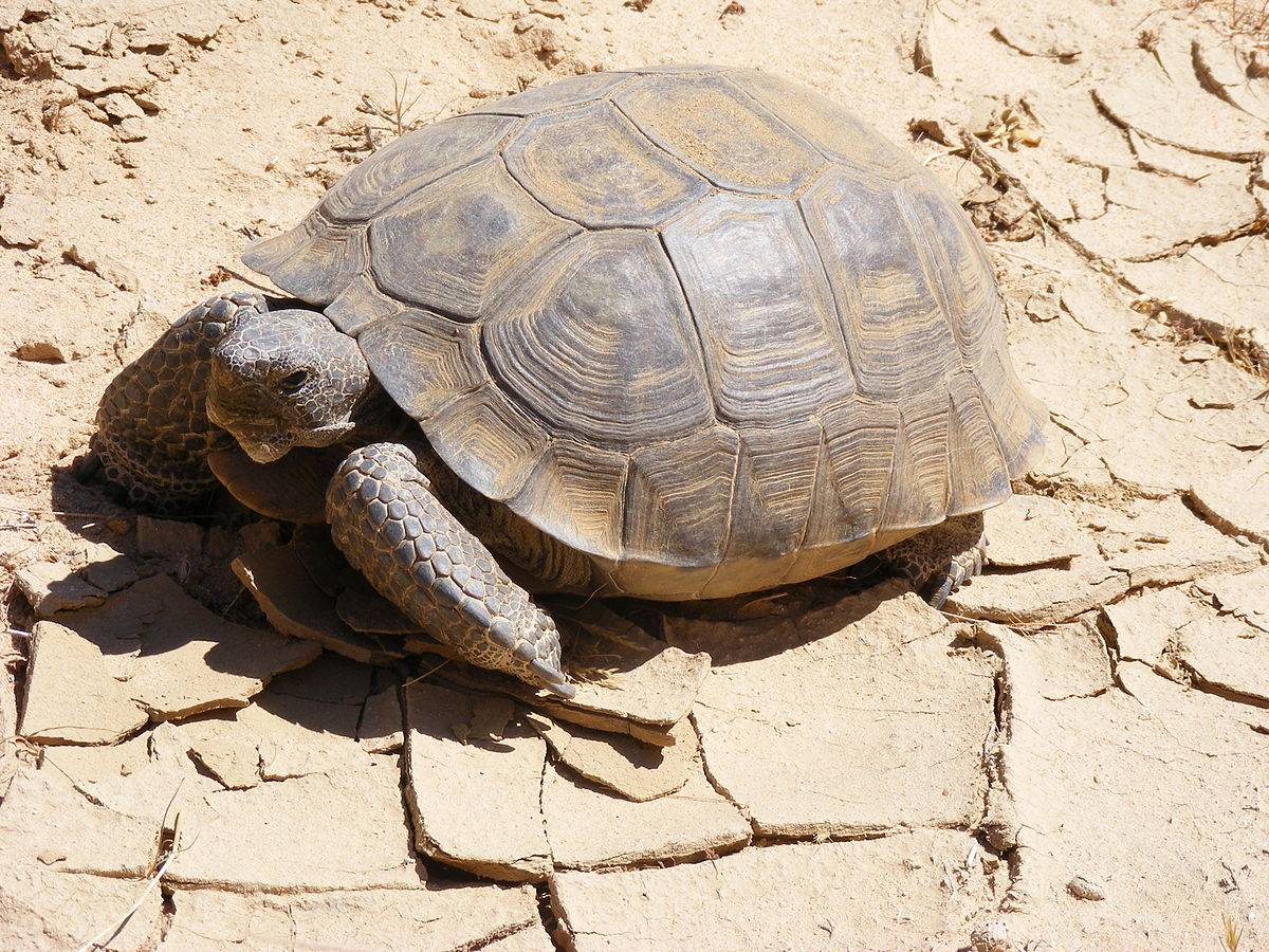 Testudo kleinmanni (египетская черепаха) - черепахи.ру - все о черепахах и для черепах