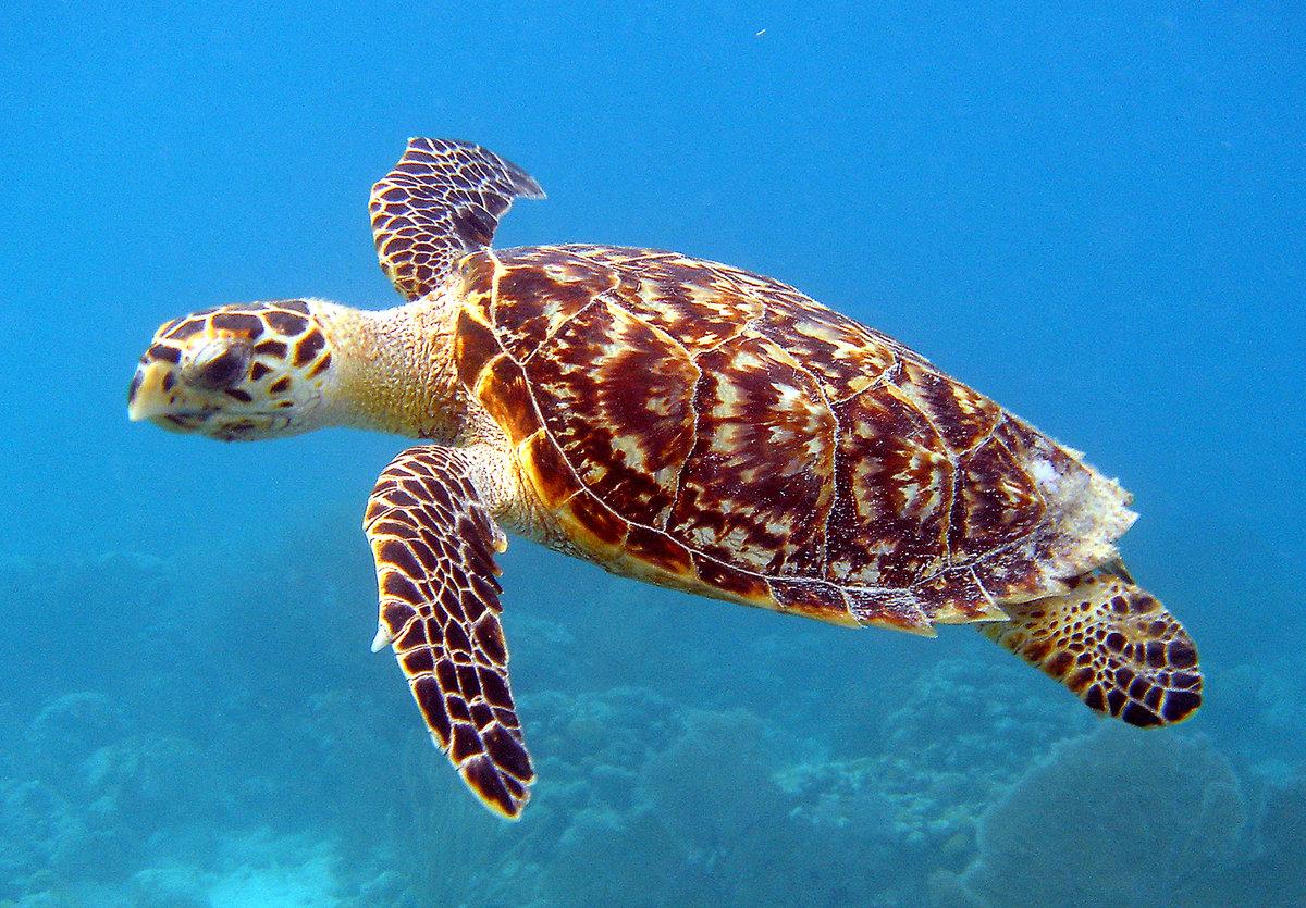 Морские черепахи - вики