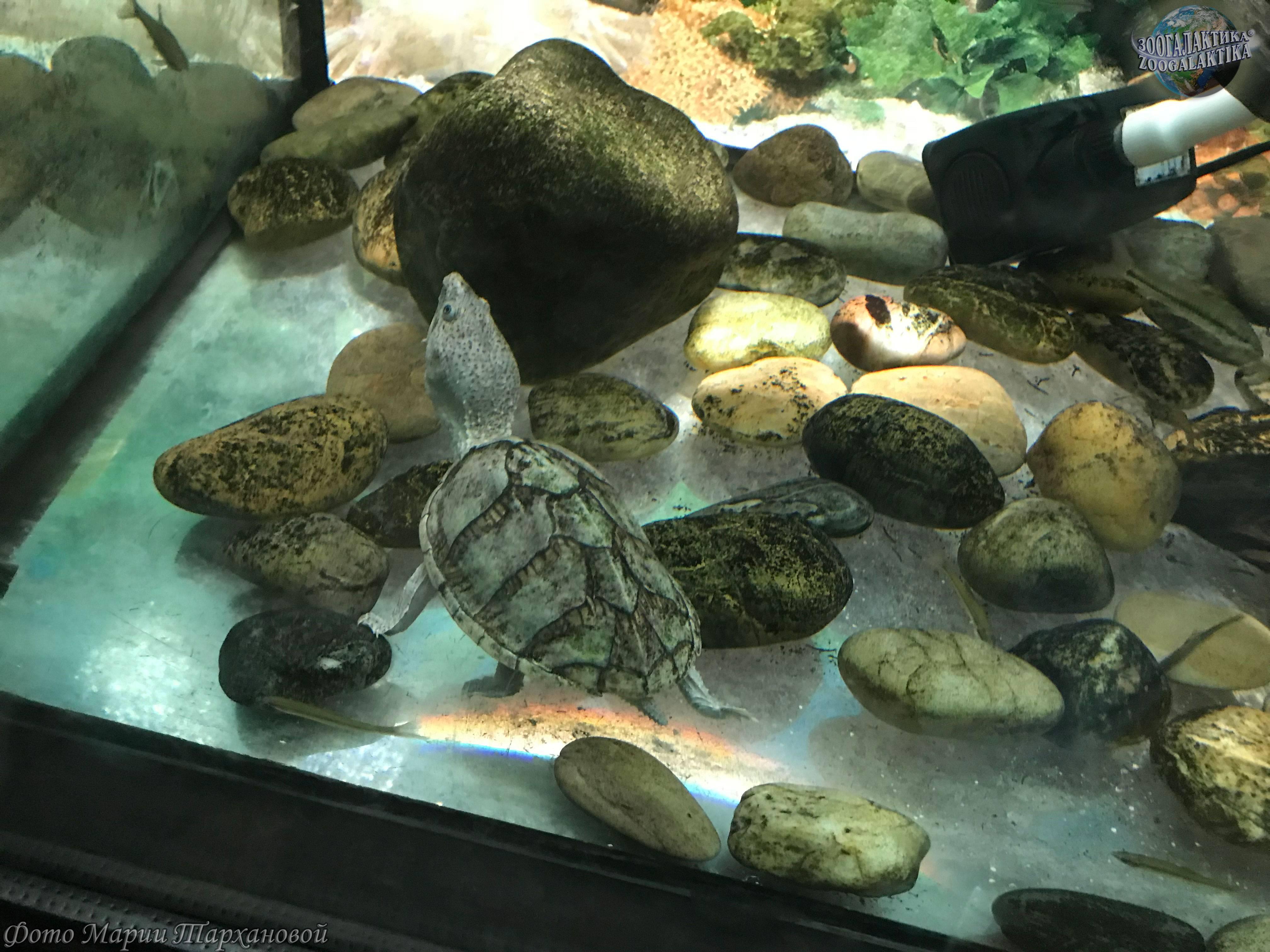Мускусные черепахи -sternotherus