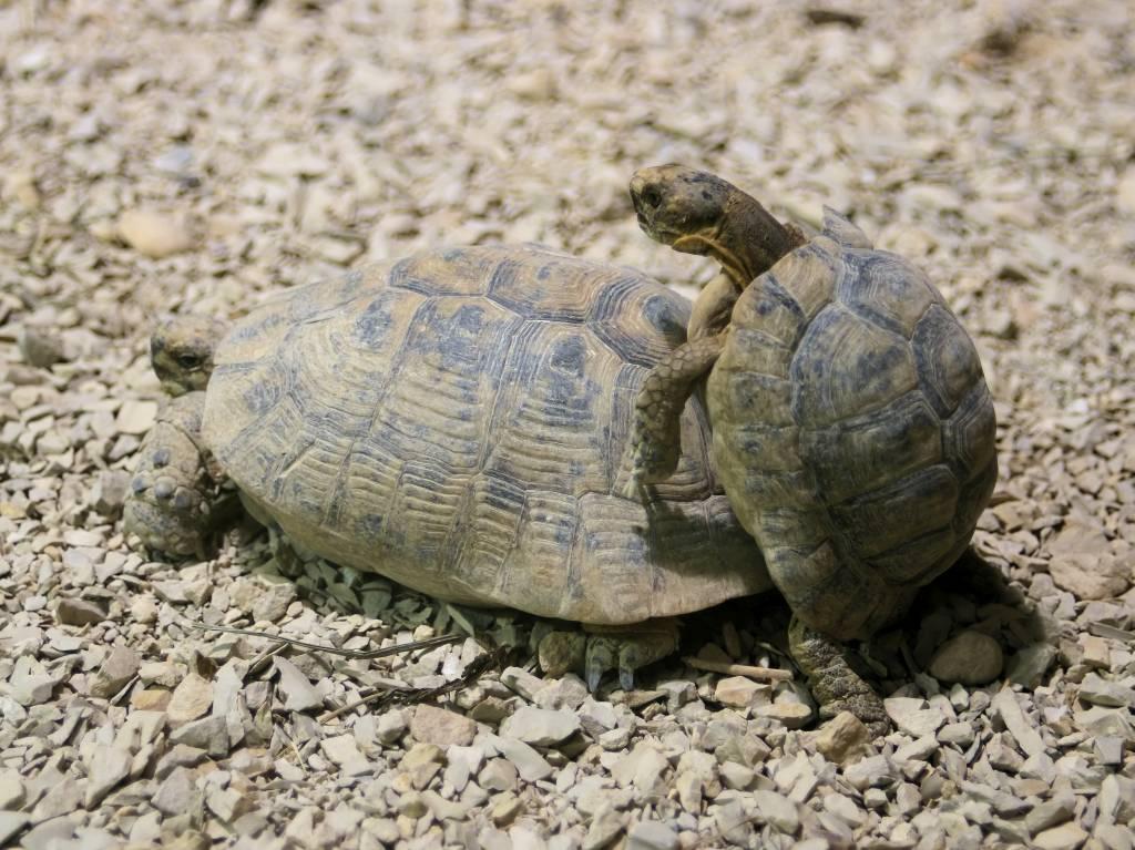 Сухопутные черепахи в домашних условиях. средиземноморская черепаха, описание вида средиземноморская черепаха содержание в домашних
