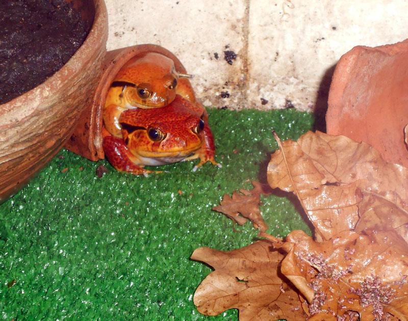 Домашние лягушки, их виды для домашнего содержания