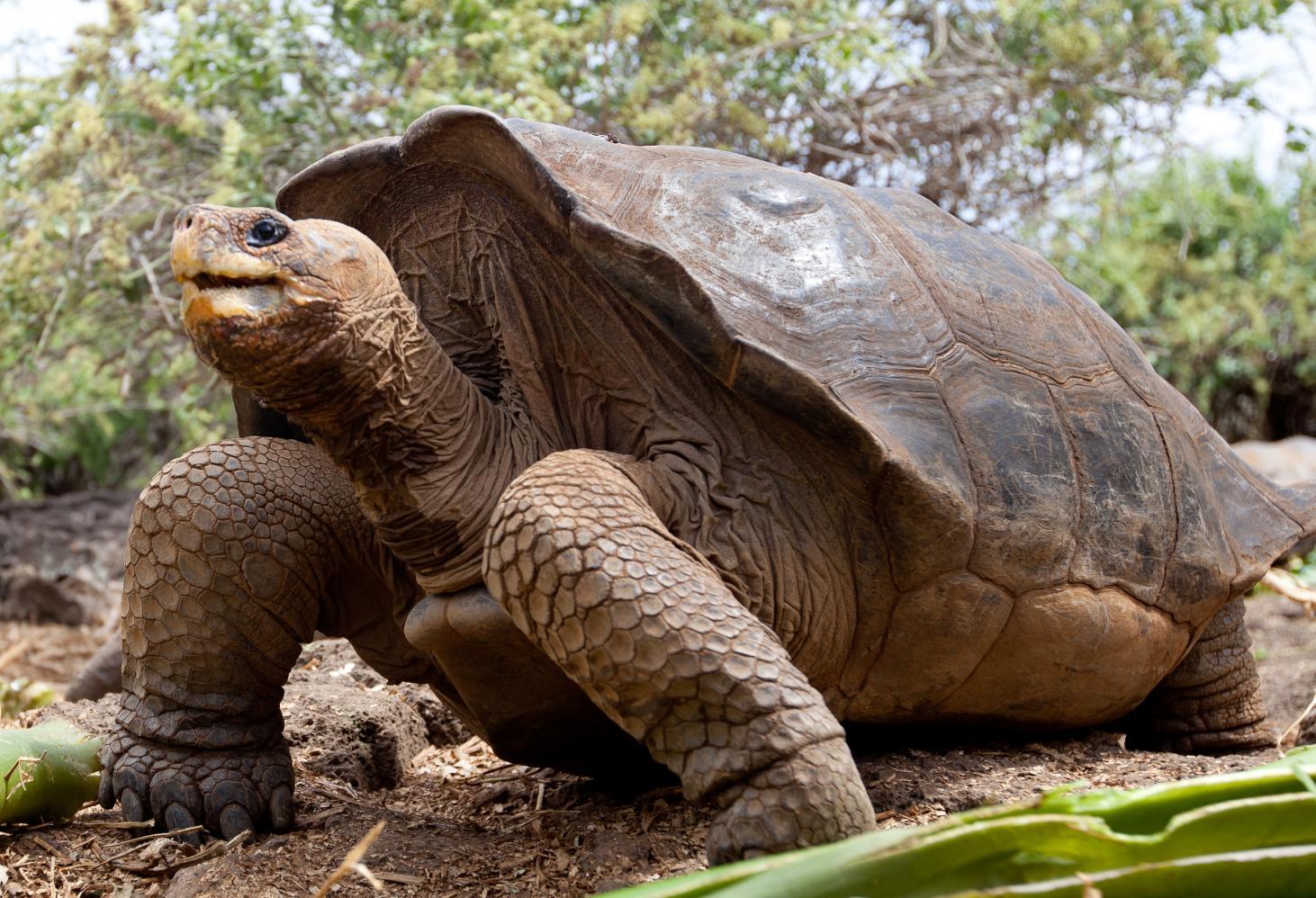 Слоновая черепаха - вики