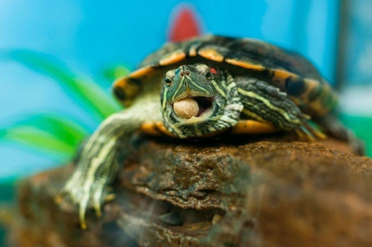 Стоит ли ребенку дарить черепаху? - запись пользователя ольга (ice129) в сообществе домашние животные в категории хотим завести зверушку - babyblog.ru