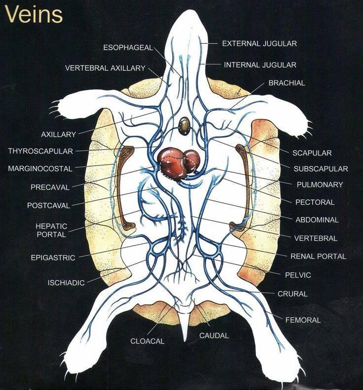 Анатомия черепах
