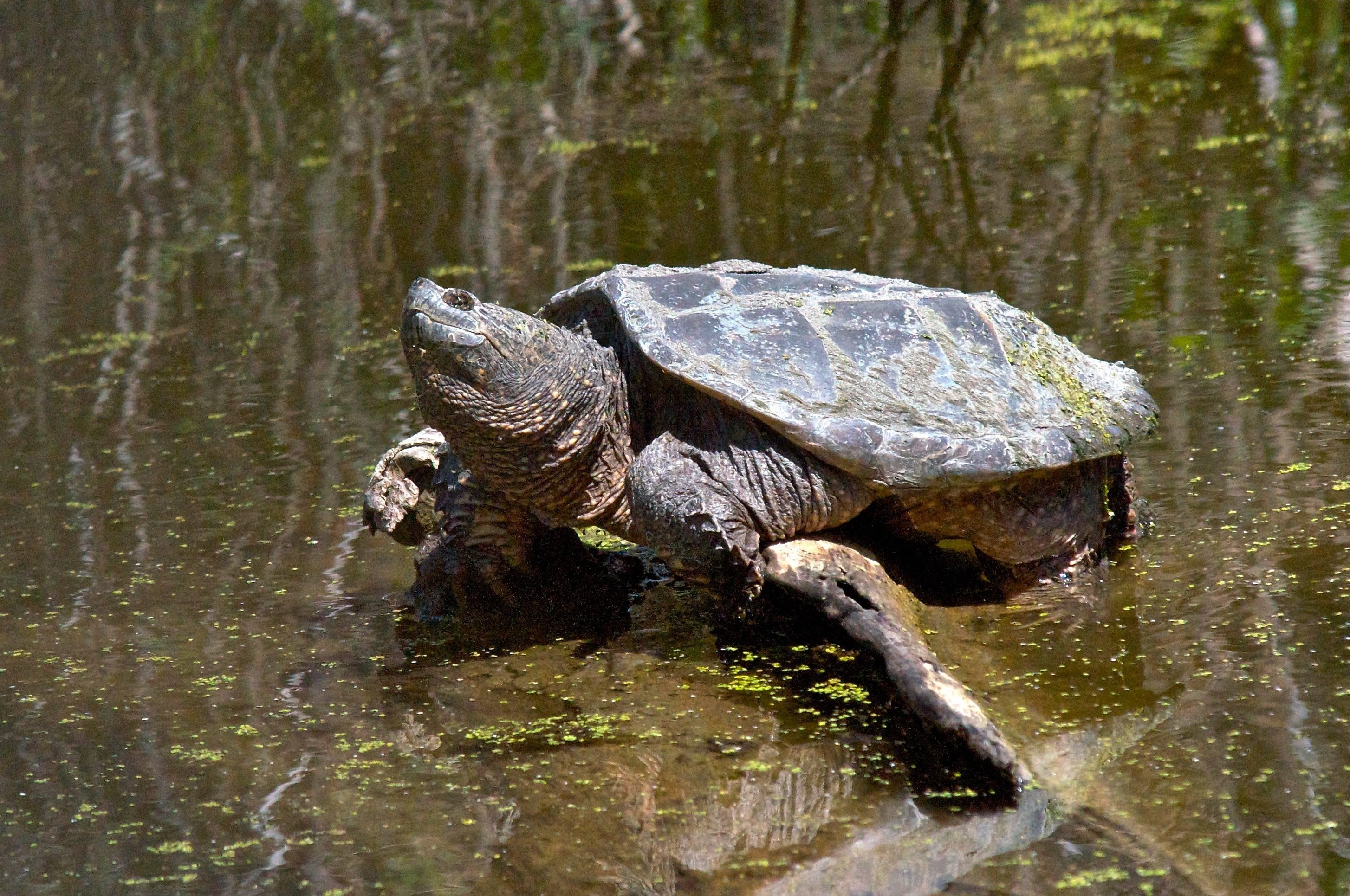 Особенности жизнедеятельности грифовых черепах — разбираемся во всех подробностях