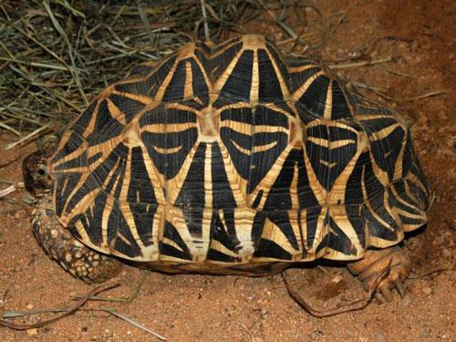 Звездчатая черепаха