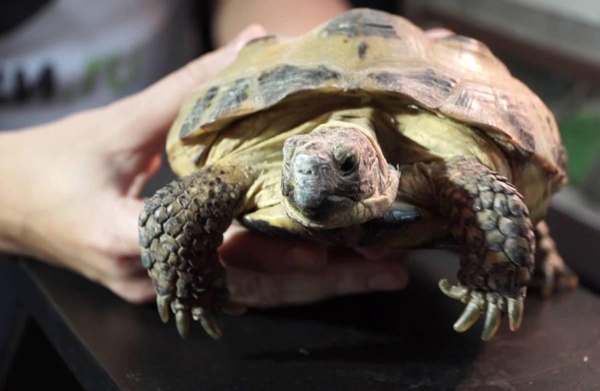 Как гулять с черепахой | мои домашние питомцы