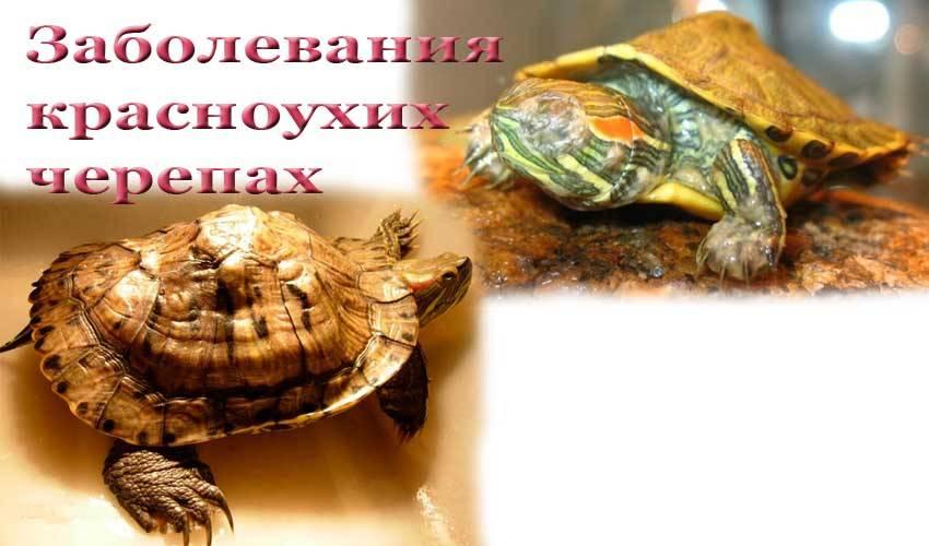 Содержание сухопутной черепахи в домашних условиях и уход за ней