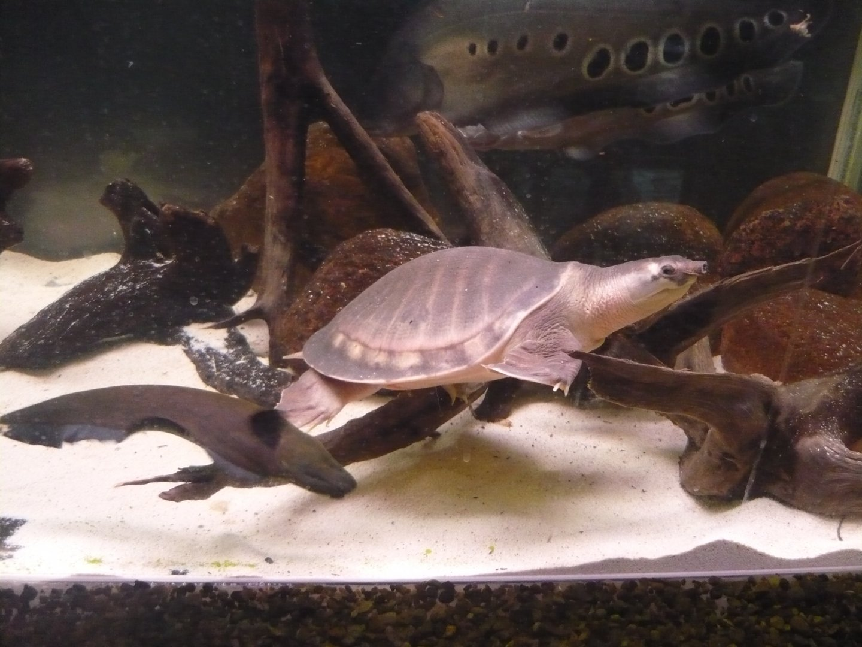 Двухкоготные черепахи