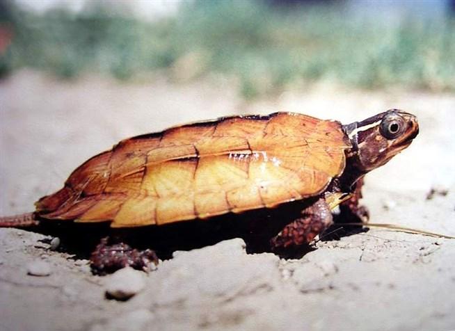 Chelonoidis carbonaria (красноногая черепаха, угольная черепаха)