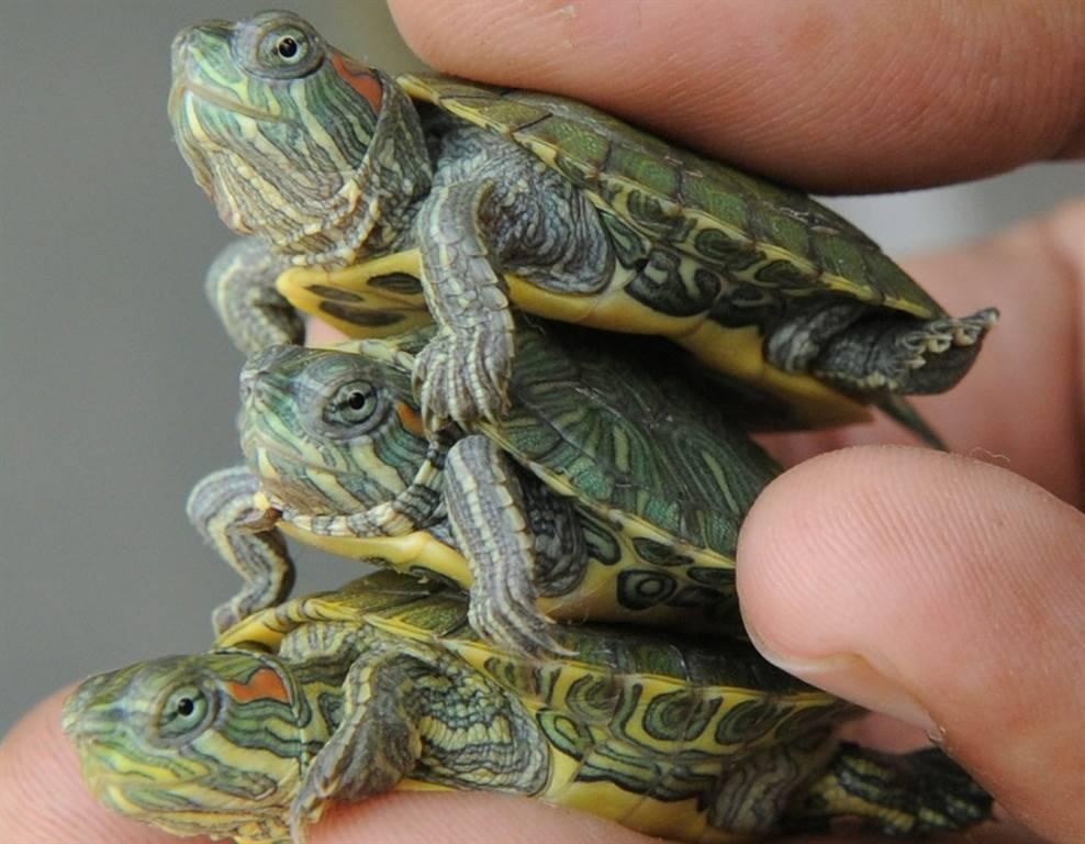 Как определить пол красноухой черепахи: способы отличить самца от самки