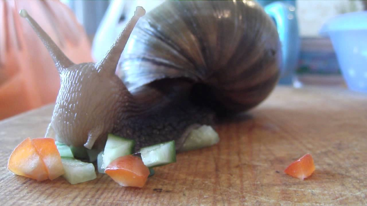 Чем кормить улиток