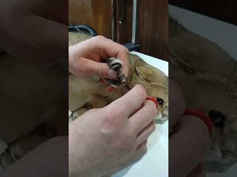Стригут ли когти черепахам