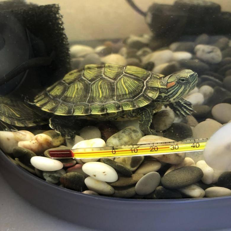 Красноухая черепахах