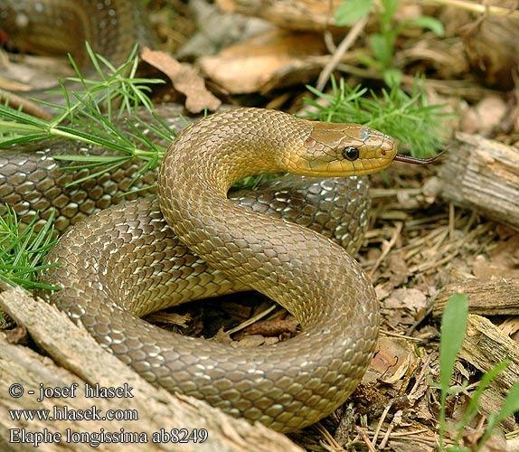 Эскулапов полоз – легендарная змея