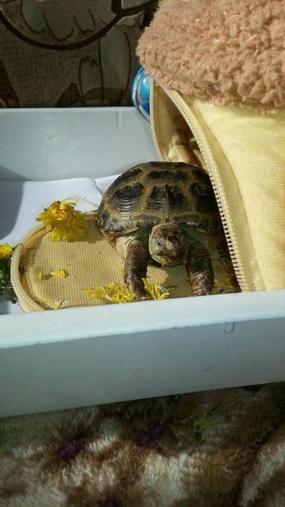 Как линяют красноухие и сухопутные черепахи