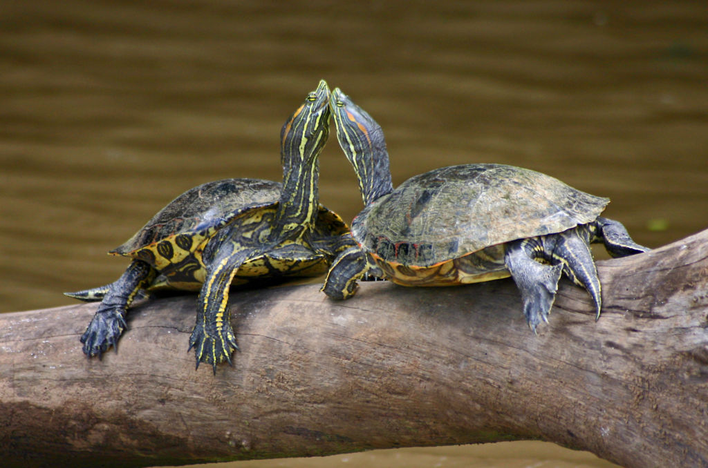 Красноухие черепахи в дикой природе
