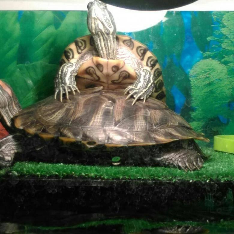 Как правильно оборудовать акватеррариум для красноухой черепахи