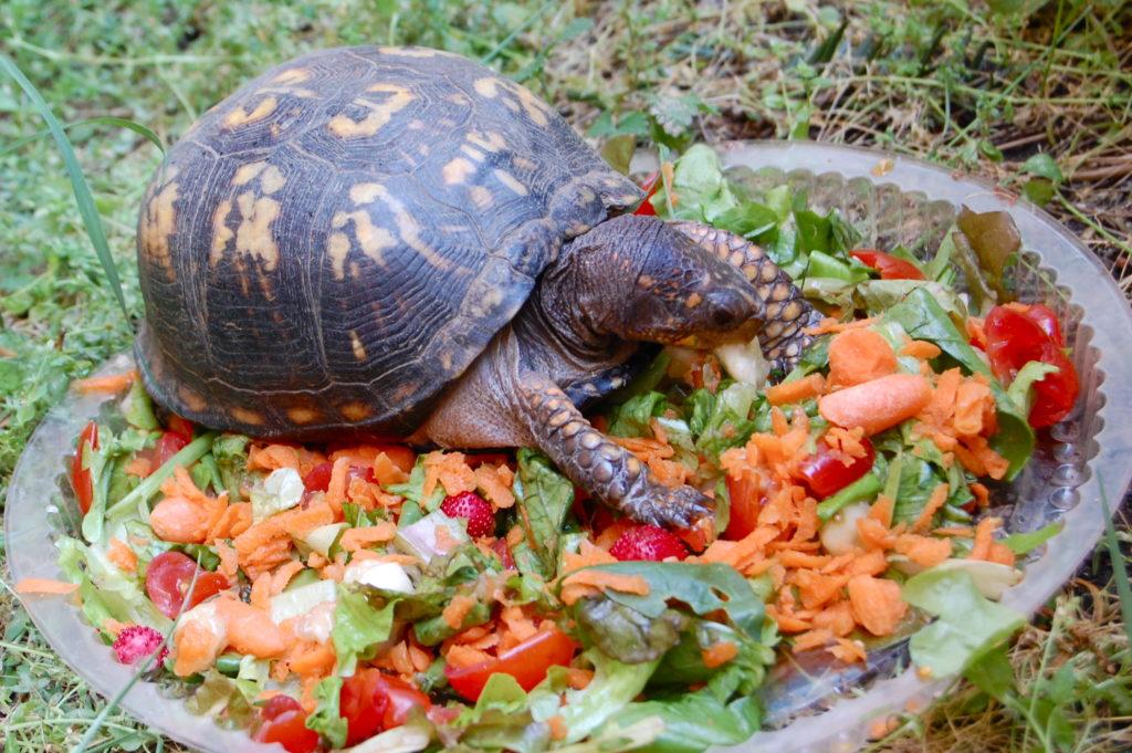 Чем кормить домашнюю черепаху: питание хищных и травоядных животных