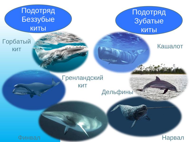 Зубатые киты: особенности, представители подотряда