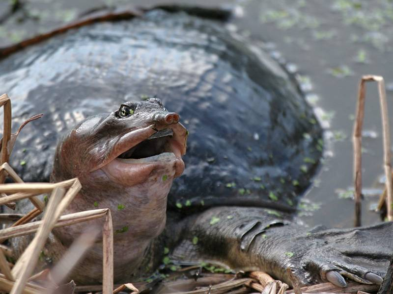 Apalone ferox (злой трионикс) - черепахи.ру - все о черепахах и для черепах