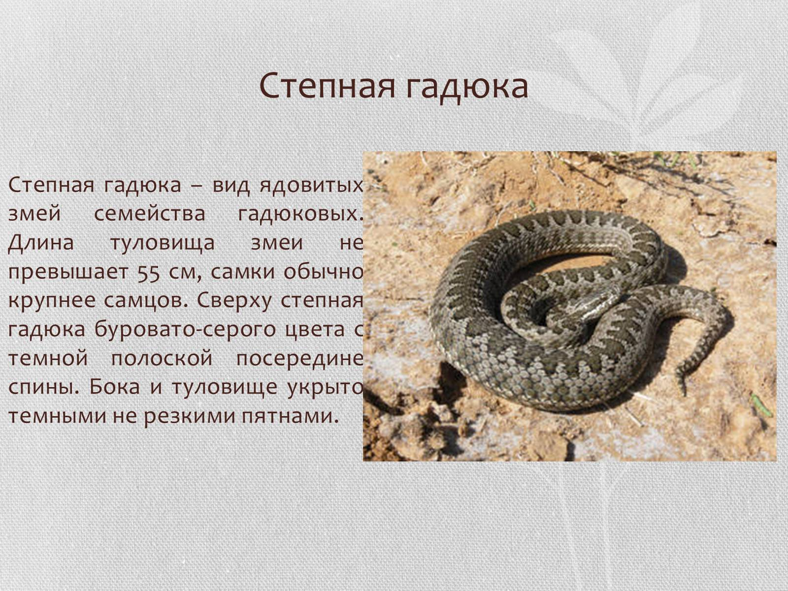 Гадюка обыкновенная: особенности змеи