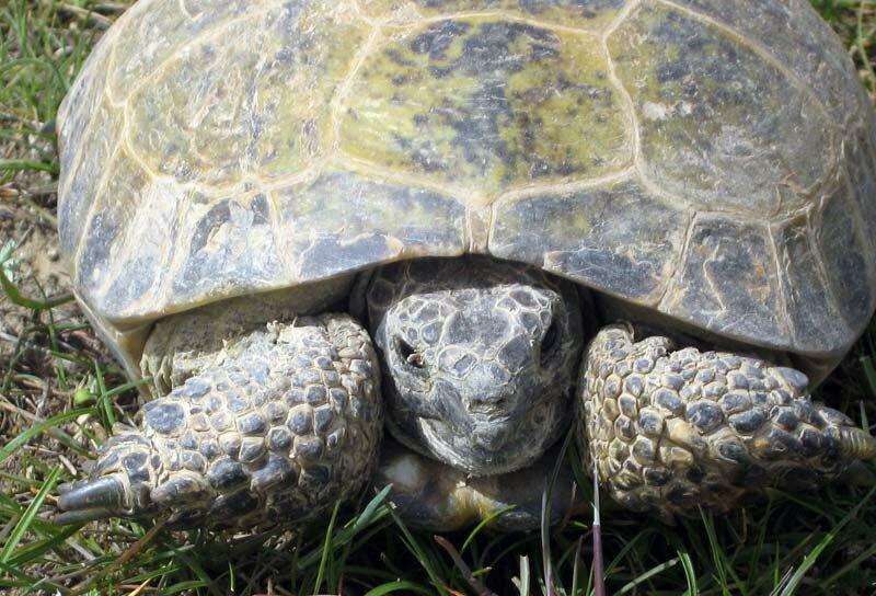 Материалы к ландшафтному распределению и экологии среднеазиатской черепахи )agrionemys horsfieldii (gray, 1844)) в южном таджикистане - pdf free download