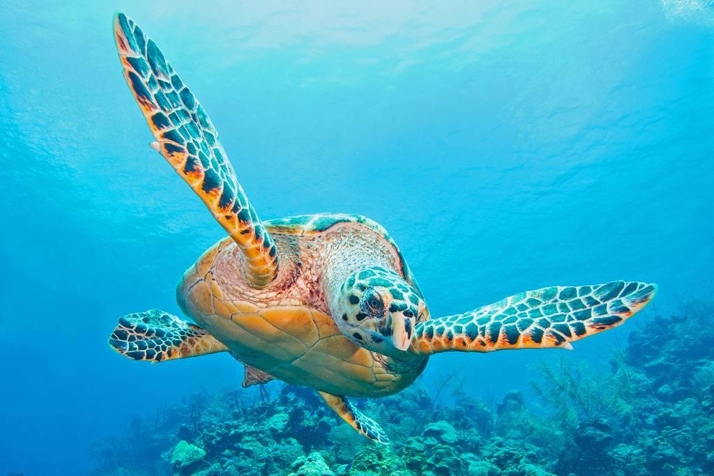 Головастая морская черепаха википедия