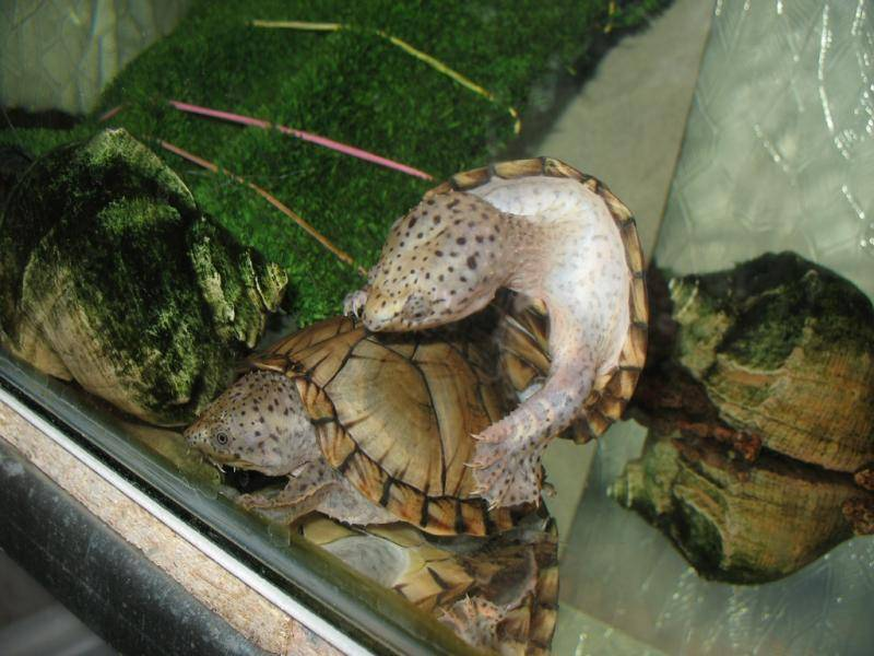 Мускусные черепахи - sternotherus - qwe.wiki